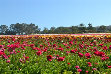 spring is in the air at the flower fields in carlsbad oc