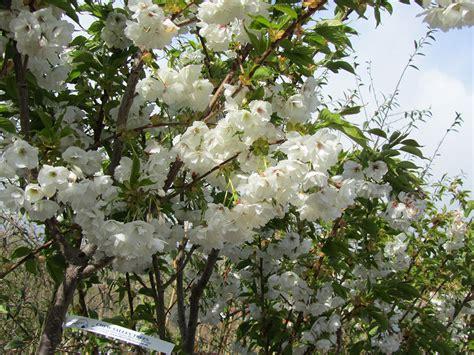 mt fuji cherry tree nz mount fuji cherry prunus shirotae 171 chew valley trees