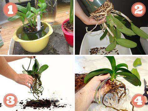 rempoter une orchid 233 e techniques et conseils