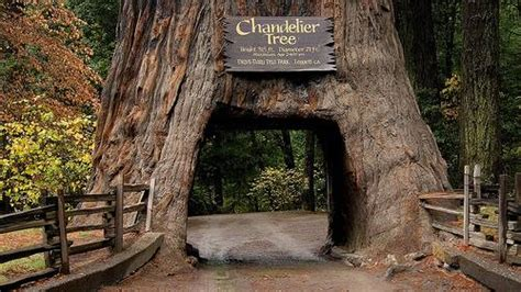o tree in coast redwoods hyperion and chandelier tree www