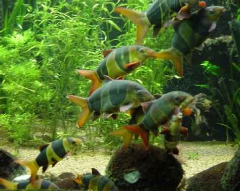 aquariophilie eau douce les loches