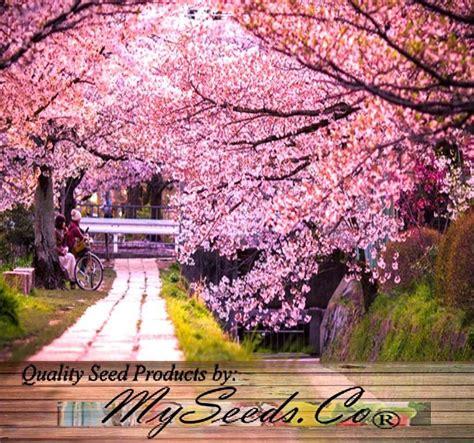 cherry tree vs cherry blossom tree bulk japanese flowering cherry tree seeds prunus serrulata cherry blossom ebay