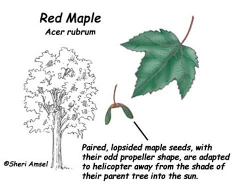 maple tree adaptations maple adaptation