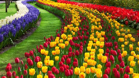 tulip flower garden free stock photo domain pictures