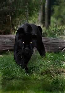 world of reading black panther this is black panther level 1 pantera negra foto de sue demetriou dvds