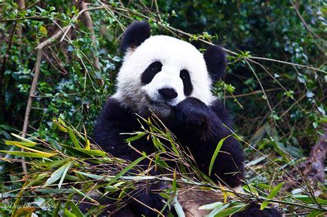 panda china panda research base chengdu china