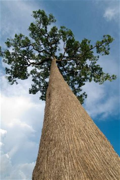 tree in brazil 26 best images about nuts brazil on