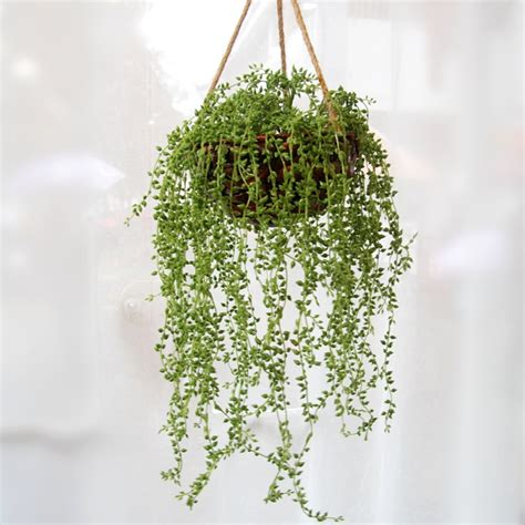 hanging plant best apartment plants indoor plants that you can grow in