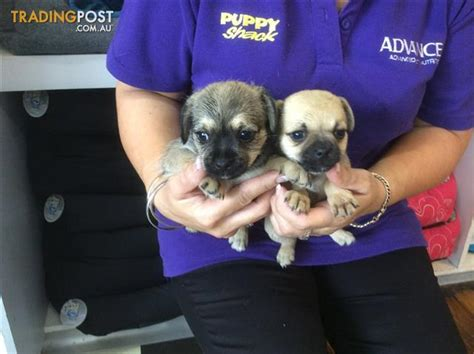 www pugster pugster pugster puppies at puppy shack brisbane for sale in