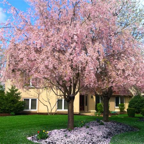 17 best images about cherry trees in on trees and shrubs trees and cherries