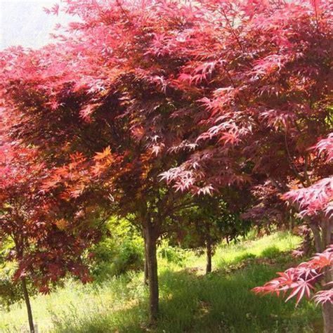 maple tree when to plant 20pcs japanese maple tree bonsai seeds acer palmatum atropurpureum plant ef ebay