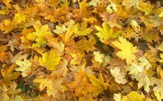 Baum Mit Roten Blättern 136 by Herbst Blatt Der Kostenlosen Fotos