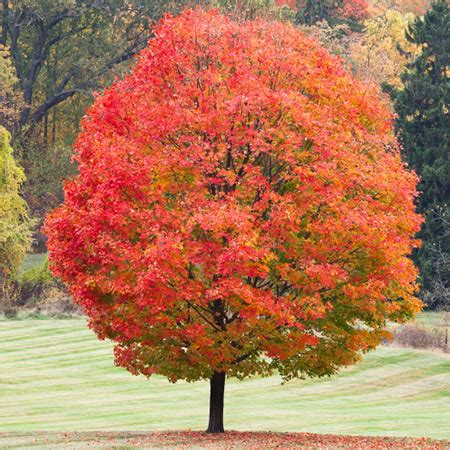 maple tree when to plant sugar maple tree fast growing trees