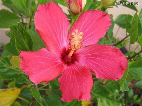 hibiscus flower hibiscus flowers pictures pink hibiscus flower 1