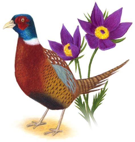 state bird of south dakota south dakota state bird and flower ring necked pheasant