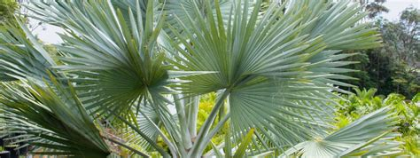 tree for sale australia wholesale palms palm trees australia