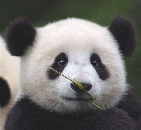 one panda animals that make you go aww baby pandas
