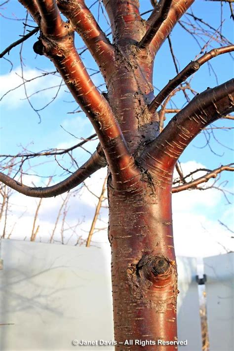 cherry tree zone 9b 11 best plants for great winter bark characteristics zone 9b images on zone 5