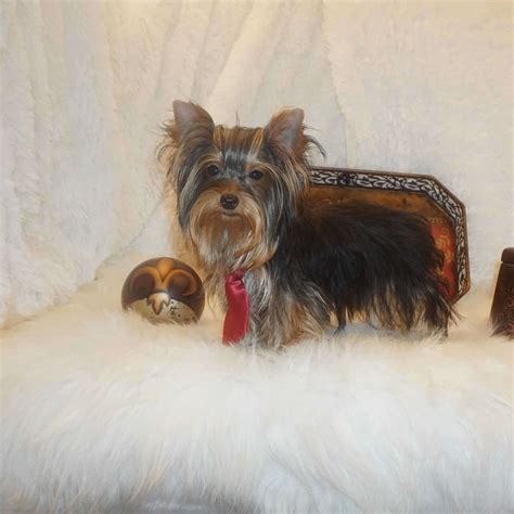 yorkshire terrier sale yorkies for sale buy tiny yorkshire terrier puppy brad
