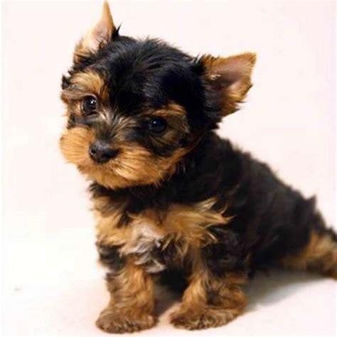 teacup yorkshire terrier for sale gloria teacup yorkies sale - Yorkshire Terrier Sale