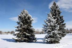 Free picture: conifer trees, pine trees, snow, winter, blue sky