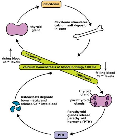 calcitonin vs pth one of the best visual representations i ve seen the real world