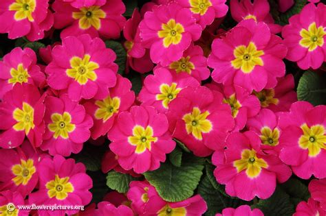 pictures of flowers primula flower picture 14