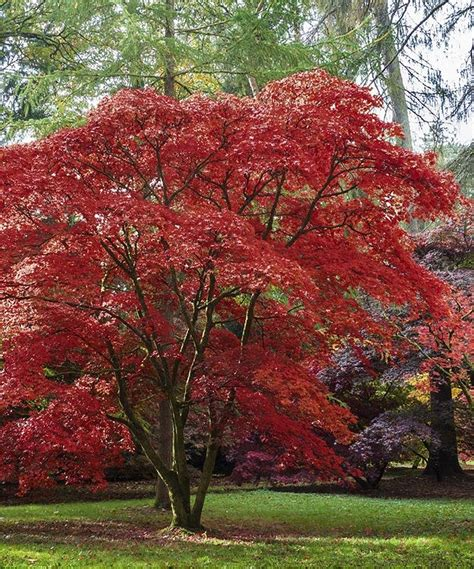 maple tree japanese seedling sprout emperor one japanese maple tree zulily