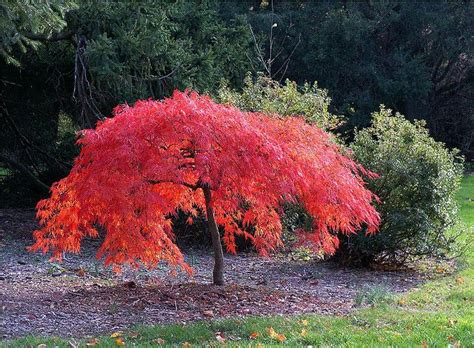 maple tree evergreen 17 best images about japanese maple on trees japanese maple trees and