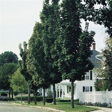 maple tree zone 16 best ornamental trees images on view photos photos of and small trees