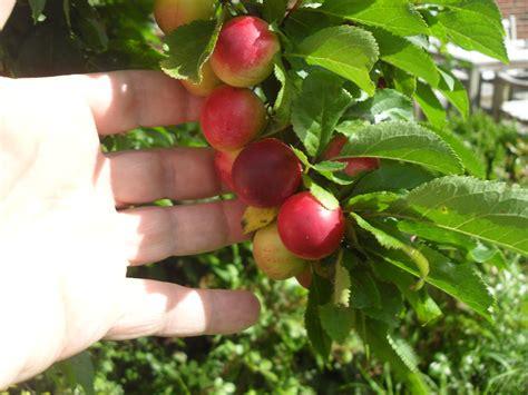 Baum Mit Roten Blättern 136 by Pflaume Oder Was Pflanzenbestimmung Pflanzensuche