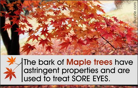 maple tree facts seriously awesome facts about the maple tree