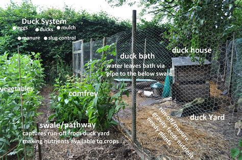 ducks in a permaculture system