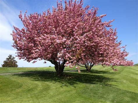delightful cherry tree