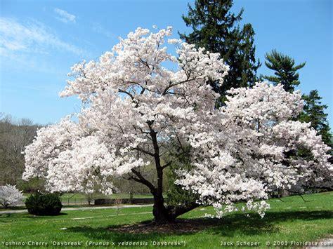 cherry tree yoshino prunus x yedoensis