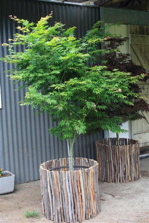 pot tree advanced trees and trees to grow in pots