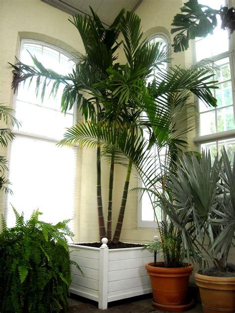 indoor palm indoor palms indoor plants ferns