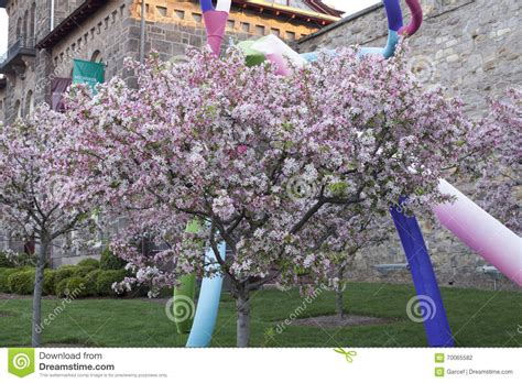 cherry trees in bloom editorial photography image of pennsylvania 70065582