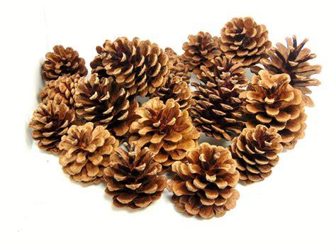 with pine cones pine cones 4cm 8cm size quality pinecone florists