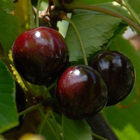 cherry tree stella prunus avium