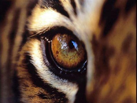 tigers eye 24 best tiger eye images on tiger tiger