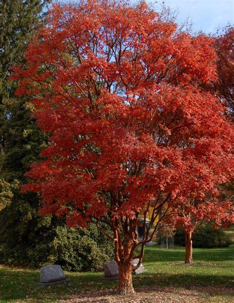 paperbark maples the world s best gardening