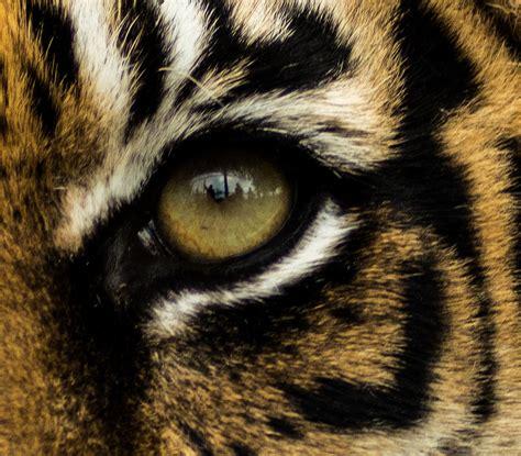 tigers eye tiger eye wallpapern
