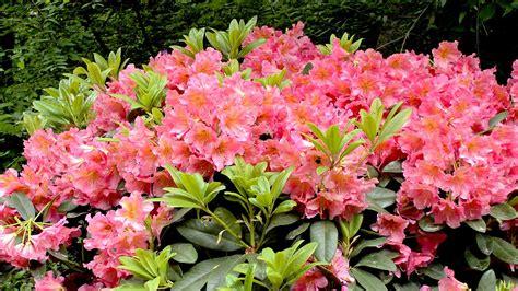 pflanze immergrün winterhart blühend kleine bl 252 hende str 228 ucher pflanzen f 252 r nassen boden