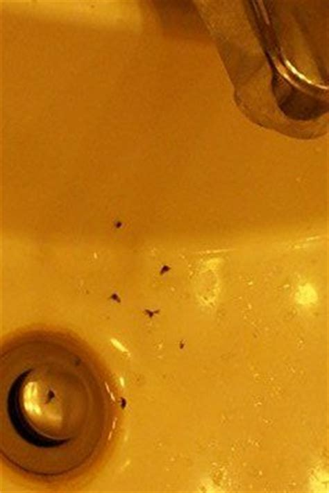 gnats in kitchen sink how do you get rid of sink drain flies hometalk