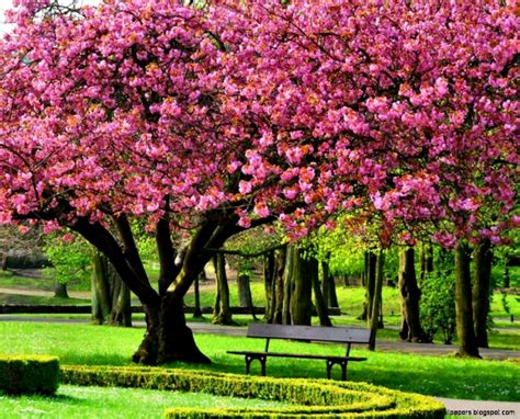 wallpaper desktop pink cherry blossom tree 1920 x 1080 268 kb jpeg a trees