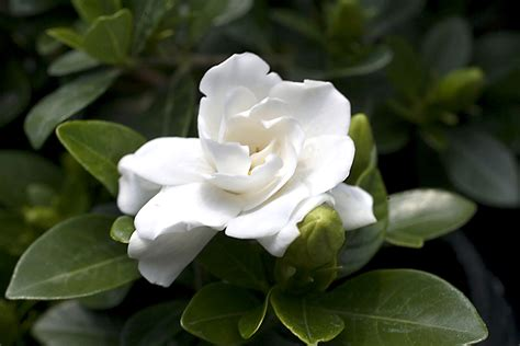 Gardenia Images Gardenia Crown Planthaven International