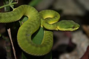 What is an Arboreal Snake? - Definition & Species | Study.com Arboreal Snakes