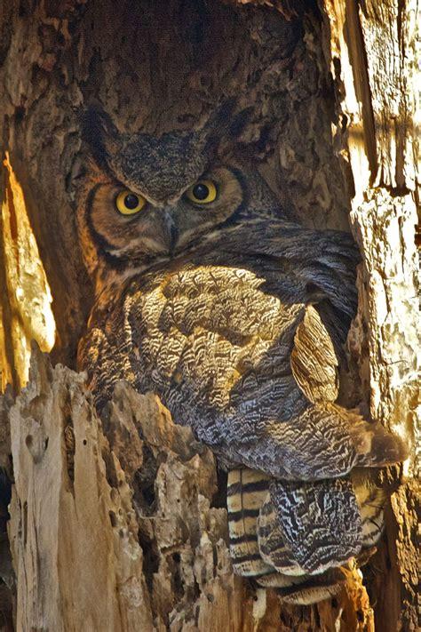 lwork owl a great horned owl family