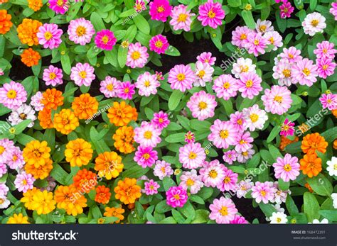 images of flowers in the garden colorful zinnia flowers in the garden top view stock